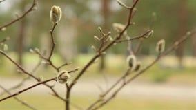 Brotes hinchados en el jardín de la magnolia blanca en la primavera temprana en abril HD 1920 metrajes