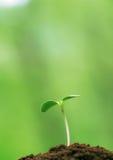 Brotes jovenes del verde Fotos de archivo libres de regalías