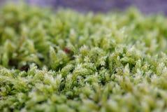 Brotes minúsculos de la hierba Fotografía de archivo libre de regalías