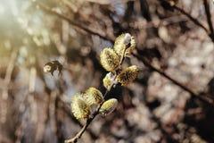 Brotes mullidos hermosos del sauce y un abejorro en la naturaleza soleada, SP Foto de archivo libre de regalías