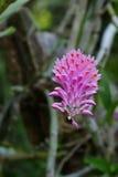 Brotes púrpuras del secundum del Dendrobium alrededor a la floración Foto de archivo libre de regalías