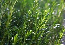 Brotes picantes de la hierba del romero fresco verde foto de archivo