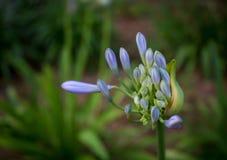 Brotes preciosos listos para estallar adelante en los flores enormes en primavera Foto de archivo libre de regalías
