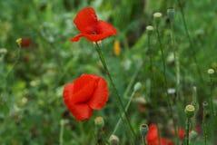Brotes rojos de amapolas florecientes en troncos verdes en el campo Imagenes de archivo