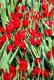 Brotes rojos del tulipán en Tulip Nursery foto de archivo libre de regalías