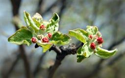 Brotes rojos en manzana-árbol Imagen de archivo libre de regalías