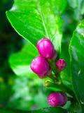 Brotes rosados de las flores del limón en hojas verdes imagen de archivo