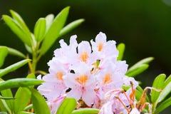 Brotes rosados de rododendros Imagenes de archivo