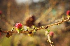 Brotes rosados de un pino en un cierre de la rama para arriba Fotos de archivo