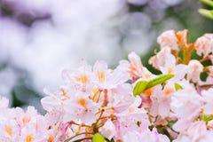 Brotes rosados delicados del rododendro Imágenes de archivo libres de regalías