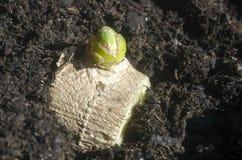 Brotes verdes de la raíz del jengibre plantados en suelo Fotografía de archivo libre de regalías