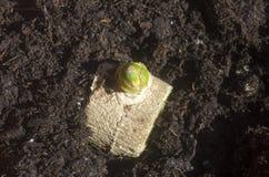Brotes verdes de la raíz del jengibre plantados en suelo Fotos de archivo libres de regalías