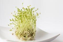 Brotes verdes de las lentejas Imagen de archivo libre de regalías