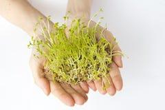 Brotes verdes de las lentejas Fotografía de archivo libre de regalías