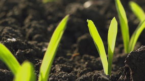 Brotes verdes jovenes crecientes del almácigo del maíz del maíz en campo de granja agrícola cultivado almacen de metraje de vídeo