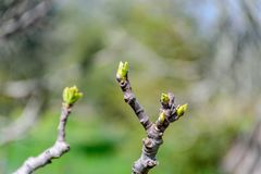 Brotes verdes que brotan en una rama fotografía de archivo