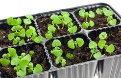 Brotes verdes que crecen de suelo. Aislado en blanco Fotografía de archivo
