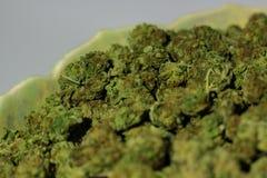Brotes verdes vibrantes de la marijuana con los pelos anaranjados en una FRU antigua fotografía de archivo libre de regalías