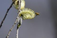 Brotes y abeja en el árbol Imágenes de archivo libres de regalías