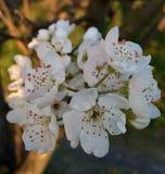brotes y flores blancos foto de archivo libre de regalías