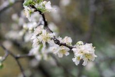 Brotes y flores de la primavera cubiertos en nieve Imagen de archivo libre de regalías