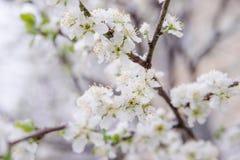 Brotes y flores de la primavera cubiertos en nieve Fotos de archivo