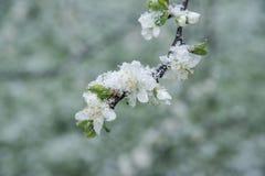 Brotes y flores de la primavera cubiertos en nieve Imagenes de archivo