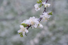 Brotes y flores de la primavera cubiertos en nieve Imagen de archivo