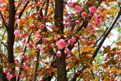 Brotes y flores de Sakura Imagenes de archivo