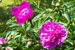 Brotes y flores delicados de la peonía Fotos de archivo