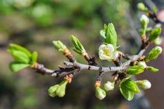 Brotes y flores en una rama de un ciruelo de cereza imagen de archivo libre de regalías