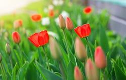 Brotes y flores hermosos del tulipán Imagen de archivo libre de regalías
