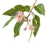 Brotes y hojas de flores rosados del eucalipto aislados en blanco Imagen de archivo