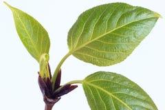 Brotes y hojas de la primavera en el álamo de la ramita Imagen de archivo libre de regalías