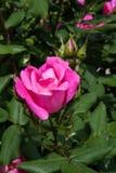 Brotes y hojas de una rosaleda Fotografía de archivo