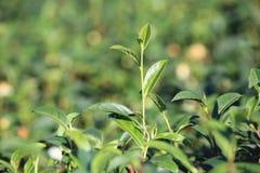 Brotes y hojas del té verde Foto de archivo libre de regalías