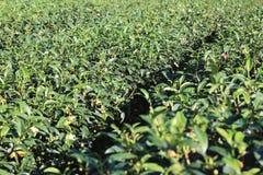 Brotes y hojas del té verde Imágenes de archivo libres de regalías