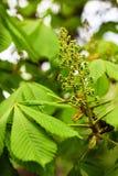 Brotes y hojas jovenes de la castaña en primavera Foto de archivo