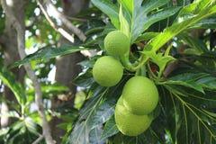 Brotfrüchte auf Baum Lizenzfreie Stockbilder