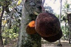 Brotfrüchte auf Baum, reife Frucht Stockfoto