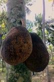 Brotfrüchte auf Baum, reife Frucht Stockbild