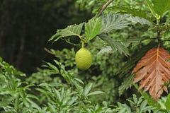 Brotfrüchte, die in einem Brotfrucht-Baum wachsen Stockbild