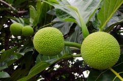 Brotfrucht-Baum Lizenzfreies Stockbild