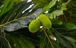 Brotfrucht-Brotfruchtbaum-altilis auf den Bäumen stockfotos