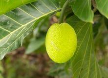 Brotfruchtbaum, der in der Plantage in Kauai wächst Stockbilder