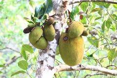 Brotfruchtbaum-heterophyllus Flucht Lizenzfreies Stockbild