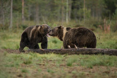 Brother bear bother. Two brown bear siblings squabble over food in Finlands Taiga forest Stock Photos