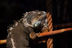 Brother of the dragon. Portrait of monitor lizard varanus Royalty Free Stock Images