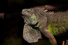 Brother of the dragon. Portrait of monitor lizard varanus Stock Photography