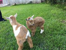 Brother goats Royalty Free Stock Photography